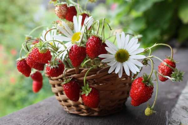strawberry_06