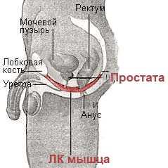 Картинка лобково-копчиковая мышца